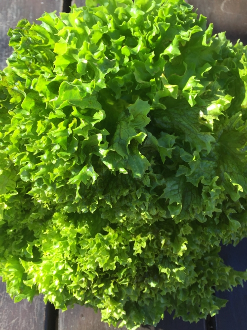 Lettuce, curly leaf