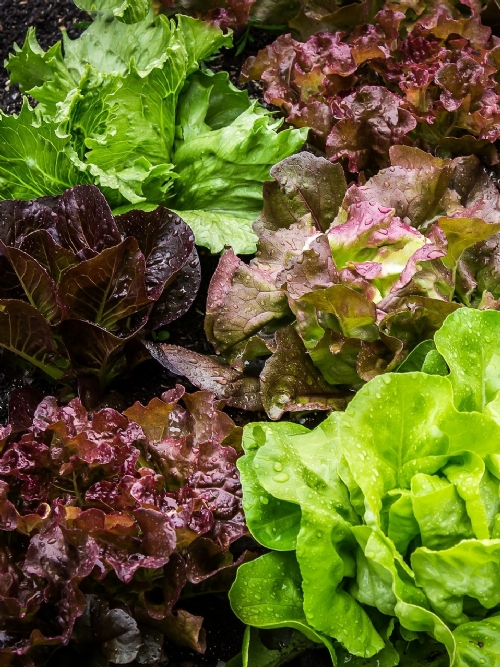 Lettuce Of The Week, 350g