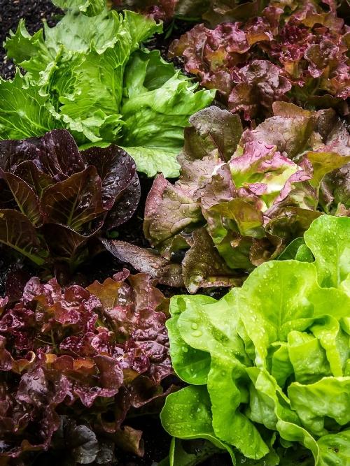 Lettuce Of The Week, 350g