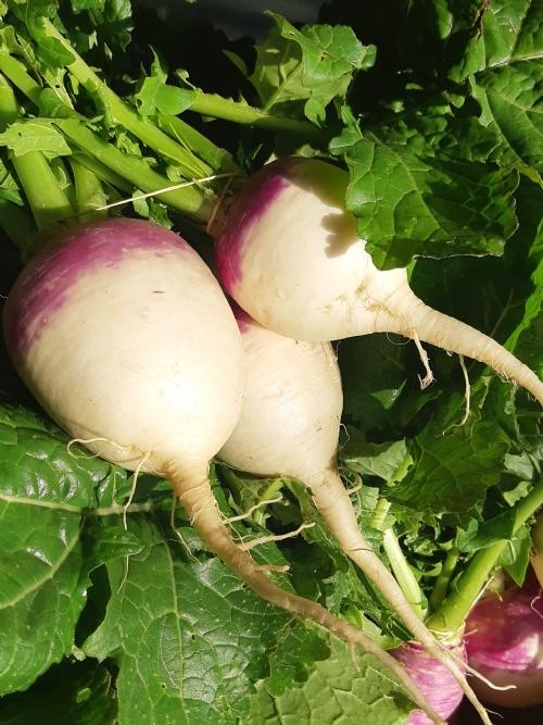 Turnips, bunch