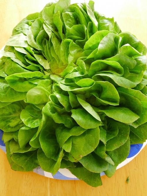Lettuce purple, curly leaf
